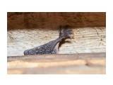 Рука-крыло )) Фотограф: VictorV Стеснительная летучая мышка )  Просмотров: 385 Комментариев: 1
