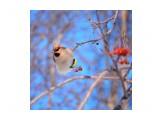 Название: Свиристель Фотоальбом: Птицы Категория: Животные  Просмотров: 239 Комментариев: 1