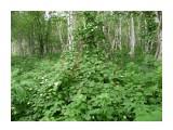 Актинидия Коломикта (Кыш-Мыш) Сахалинская лиана, летом в Уюновской долине! Не хватает только, обезьян! Фотограф: viktorb  Просмотров: 1759 Комментариев: 0