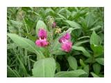 Кусючий цветок Уюновской долины, это Бальзамин! Фотограф: viktorb  Просмотров: 1026 Комментариев: 5