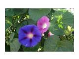 Ипомея пурпурная (Ipomaea purpurea)
