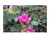 Розы сахалинские.. Фотограф: vikirin  Просмотров: 2685 Комментариев: 0