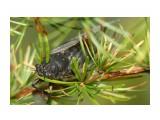 Самое громкое насекомое Фотограф: VictorV  Просмотров: 1902 Комментариев: 0