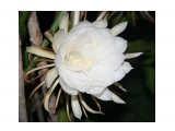 """Название: Эпифиллиум остролепестный Фотоальбом: Тропические растения Азии Категория: Цветы  Время съемки/редактирования: 2014:09:04 18:06:36 Фотокамера: Canon - Canon EOS 400D DIGITAL Диафрагма: f/5.6 Выдержка: 1/60 Фокусное расстояние: 48/1   Описание: Epiphyllum oxypetalum-Эпифиллум остролепестный Этот кактус, называемый в простонародье """"Царица ночи"""", цветет раз в году.  Просмотров: 437 Комментариев: 0"""