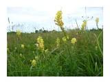 Желтые цветочки и Сахалинский луг, в природном виде (состоянии)! Такое уже встретишь, не часто! Фотограф: viktorb  Просмотров: 898 Комментариев: 0
