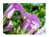 Название: Цветочный паук поймал муху-журчалку   Фотоальбом: Жуки, насекомые, бабочки  и прочая живность Сахалина Категория: Природа Фотограф: 7388PetVladVik  Время съемки/редактирования: 2013:08:28 21:30:57 Фотокамера: SAMSUNG - SAMSUNG ES80/SAMSUNG ES81 Диафрагма: f/3.5 Выдержка: 1/635 Фокусное расстояние: 4900/1000    Просмотров: 3663 Комментариев: 2