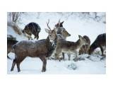 Сахалинский пятнистый олень Фотограф: В.Дейкин  Просмотров: 1440 Комментариев: 2