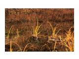 Болотца клюквенные Фотограф: vikirin  Просмотров: 581 Комментариев: 0