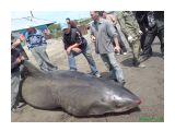 Название: Акула 3 Фотоальбом: Акула в Анивском заливе. Категория: Разное  Время съемки/редактирования: 2007:07:19 12:32:05 Фотокамера: Sony Ericsson - K790i Диафрагма: f/2.8 Выдержка: 1/800 Светочуствительность: 80   Просмотров: 3697 Комментариев: 1