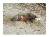 Погибший тюлень Ларга (((  Просмотров: 377 Комментариев: 0