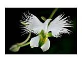 Название: Цветок-голубь. Фотоальбом: Цветы Категория: Цветы  Просмотров: 97 Комментариев: 0