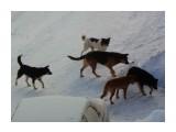 Осторожно, бродячие собаки!  Фотограф: 7388PetVladVik  Просмотров: 5128 Комментариев: 0