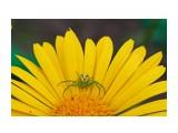 Название: Цветочный паук. Фотоальбом: Жуки, насекомые, бабочки  и прочая живность Сахалина Категория: Макросъёмка Фотограф: 7388PetVladVik  Просмотров: 4275 Комментариев: 0