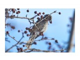 Название: Рыжеухий бюльбюль Фотоальбом: Птички Категория: Животные Фотограф: VictorV  Время съемки/редактирования: 2020:02:02 21:19:15 Фотокамера: SONY - SLT-A99 Диафрагма: f/5.6 Выдержка: 1/3200 Фокусное расстояние: 4000/10    Просмотров: 25 Комментариев: 0