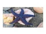 Синяя звезда .. это как синяя птица?... Фотограф: vikirin  Просмотров: 1512 Комментариев: 0
