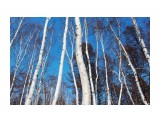 В березовом лесу Фотограф: vikirin  Просмотров: 2403 Комментариев: 0