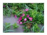 Шиповник морской - розы сахалинские... Фотограф: vikirin  Просмотров: 3616 Комментариев: 0