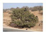 Козы на деревьях ( Марроко) там это нормально  Просмотров: 819 Комментариев: