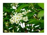 черёмуха цветёт...  Просмотров: 343 Комментариев: 0