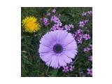 брошь брошь-гербера из фоамирана. цвет фиолетовый. 11см  Просмотров: 322 Комментариев: 0