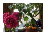 Кумкват+глоксиния+розы