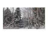 В лесу берендеевском... Фотограф: vikirin  Просмотров: 1767 Комментариев: 0