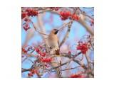 Название: Свиристель Фотоальбом: Птицы Категория: Животные  Просмотров: 408 Комментариев: 1