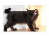 Название: IMG_0597 Фотоальбом: котята Категория: Животные Фотограф: Тартюф Описание: Мальчик, полностью черный с темными глазками и закрученным хвостиком. Чертик.  Просмотров: 875 Комментариев: 0