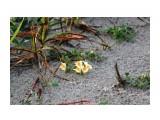 На песке цветет крохотная льнянка.. Фотограф: vikirin  Просмотров: 2447 Комментариев: 0
