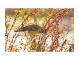 Птички  Оливковый дрозд   Просмотров: 26  Комментариев: 0