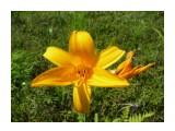 Цветы Сахалина. Наступило теплое лето и зацвели лилии! Фотограф: viktorb Окр. Южно-Сахалинска!  Просмотров: 1310 Комментариев: 0