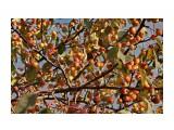 Название: Поздние яблочки.. В саду Орловой Т.Д. Фотоальбом: ОСЕНЬ... Категория: Природа Фотограф: vikirin  Просмотров: 1329 Комментариев: 0