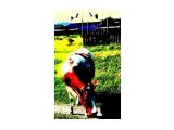 красная корова Фотограф: фотохроник  Просмотров: 570 Комментариев: 0