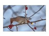 свиристель амурский на райских яблочках Фотограф: Tsygankov Yuriy  Просмотров: 126 Комментариев: 2