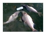 Название: S5000314 Фотоальбом: Рыбалка по Сахалински Категория: Натюрморт  Время съемки/редактирования: 2008:09:29 19:56:01 Фотокамера: Samsung Techwin -  Диафрагма: f/2.8 Выдержка: 1/125 Фокусное расстояние: 58/10 Светочуствительность: 50   Просмотров: 2447 Комментариев: 2