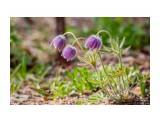 Ботанический сад  прострел Татеваки   Просмотров: 455  Комментариев: 2