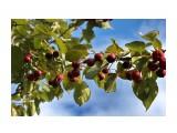 Название: Поздние яблочки.. В саду Орловой Т.Д. Фотоальбом: ОСЕНЬ... Категория: Природа Фотограф: vikirin  Просмотров: 956 Комментариев: 0