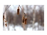 """Березовые """"бруньки"""" Фотограф: vikirin  Просмотров: 1173 Комментариев: 0"""