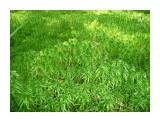 Природа Сахалина. Маленькие зеленые пальмочки! Фотограф: viktorb Окр. Южно-Сахалинска!  Просмотров: 1043 Комментариев: 0