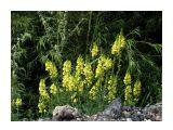 Солнечные стрелки...Льнянка... Фотограф: vikirin  Просмотров: 3845 Комментариев: 0