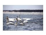 Лебеди в Охотском  Просмотров: 1806 Комментариев: 0