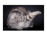 Название: Дея Феникс Диамант - мама котят Фотоальбом: шотландцы Категория: Животные  Время съемки/редактирования: 2010:04:17 21:56:34 Фотокамера: Canon - Canon EOS 5D Mark II Диафрагма: f/9.0 Выдержка: 1/200 Фокусное расстояние: 155/1 Светочуствительность: 100   Просмотров: 807 Комментариев: 4