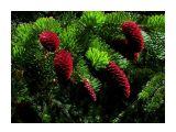 Удивительно багровые шишки в июне на елке...  Фотограф: vikirin  Просмотров: 4942 Комментариев: 1