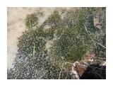 Зима-лед, икра лягушек, жизнь! Фотограф: viktorb Район 2 Пади, о. Сахалин 23 мая 2010 года!  Просмотров: 1952 Комментариев: 0