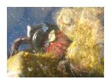 Морской еж цепляет на себя камушки.. Для защиты?  Фотограф: vikirin  Просмотров: 4462 Комментариев: 0