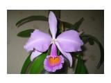 Cattleya schroederae var. select form  Просмотров: 485 Комментариев:
