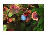 Вкусная синенькая ягодка из голубичных Фотограф: vikirin  Просмотров: 1432 Комментариев: 0