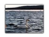 Лебеди  Просмотров: 376 Комментариев: 0