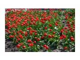 Тюльпаны Фотограф: NIK  Просмотров: 566 Комментариев: 0