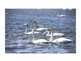 Лебеди в Охотском  Просмотров: 845 Комментариев: 0